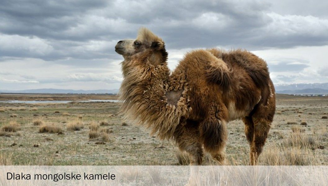 Dlaka mongolske kamele